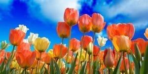 tulips-grow